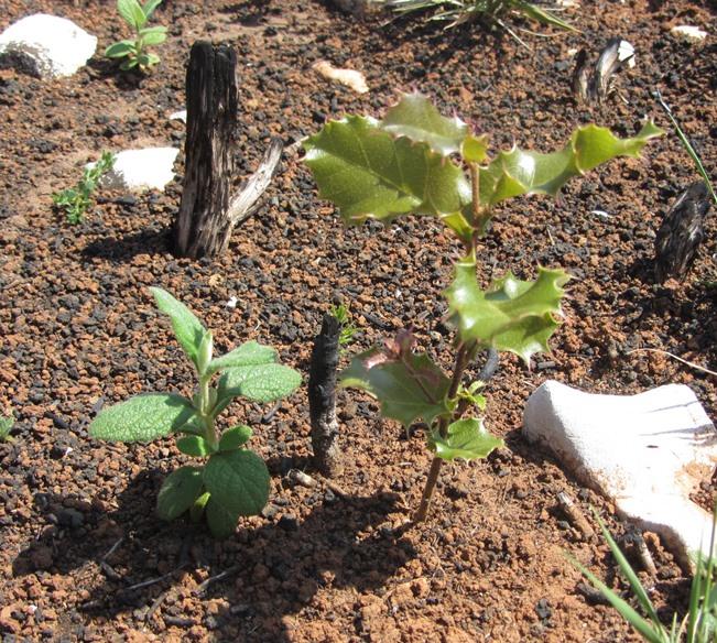 Cistus-Quercus