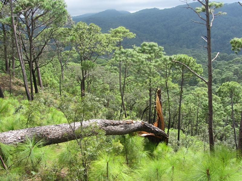 Pinus dauglasiana