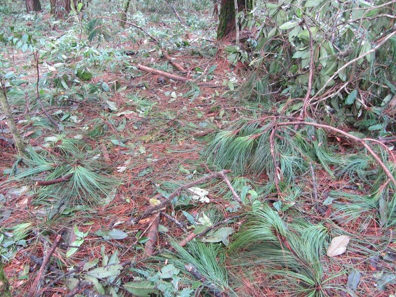 Pinus dauglasiana 2